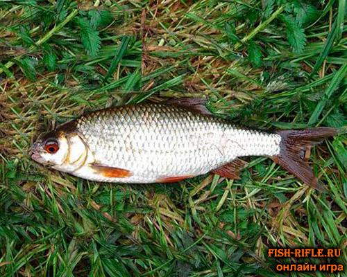 Ловля рыбы на хлеб