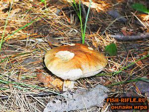 Тихая охота- сбор грибов